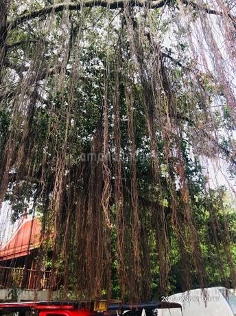 外に生えるガジュマルの木の写真素材 [FYI03160234]