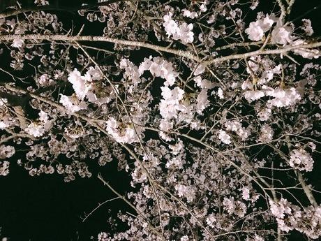 桜の写真素材 [FYI03160350]