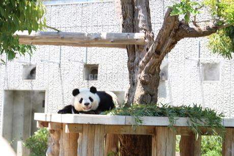パンダの写真素材 [FYI03160665]