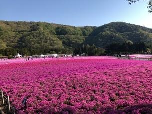 一面の芝桜の写真素材 [FYI03160996]