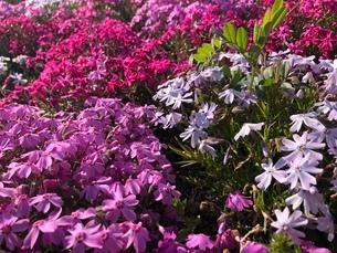芝桜 カラフルの写真素材 [FYI03160998]