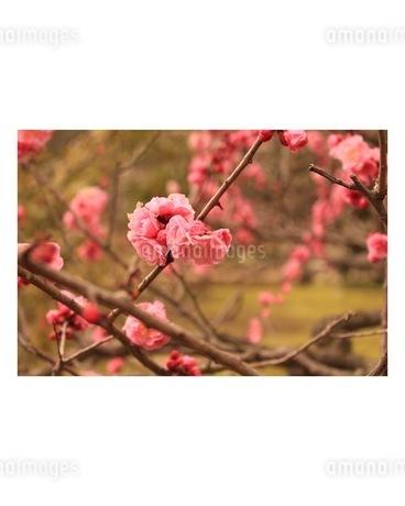 梅の花の写真素材 [FYI03161096]