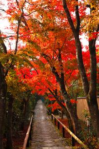 11月 鷹ヶ峯の光悦寺 -京都の紅葉-の写真素材 [FYI03161124]