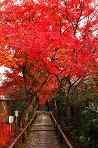 11月 鷹ヶ峯の光悦寺 -京都の紅葉-の写真素材 [FYI03161129]