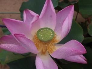 蓮の花の写真素材 [FYI03161469]