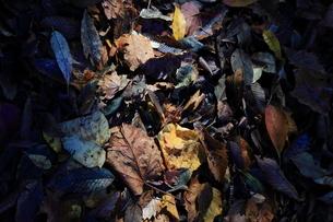 落ち葉の写真素材 [FYI03161655]