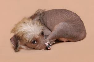 チャイニーズクレステッドの子犬の写真素材 [FYI03162009]