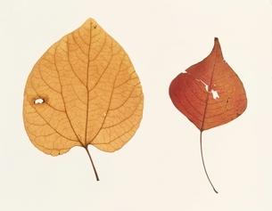 2枚の落ち葉(茶色)の写真素材 [FYI03162083]