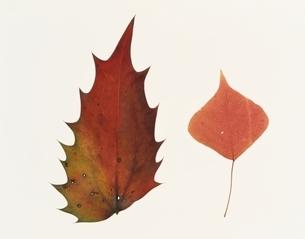 2枚の落ち葉(茶色)の写真素材 [FYI03162089]