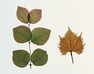 2枚の落ち葉(茶色)の写真素材 [FYI03162090]