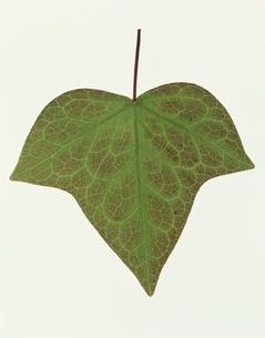 1枚の葉の写真素材 [FYI03162091]