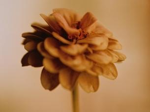 1輪のジニアの花のアップ(セピア)の写真素材 [FYI03162116]