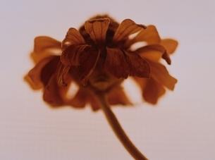 1輪のジニアの花のアップ(茶色)の写真素材 [FYI03162118]
