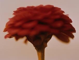 1輪のジニアの花のアップ(セピア)の写真素材 [FYI03162121]