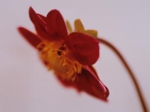 1輪のダリアの花のアップ(赤)の写真素材 [FYI03162124]
