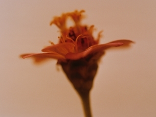 1輪のジニアの花のアップ(セピア)の写真素材 [FYI03162126]