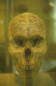 人物の頭がい骨と脳(セピア)の写真素材 [FYI03162157]