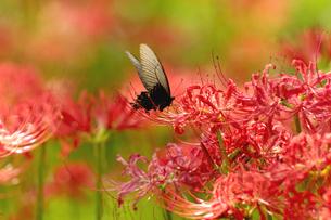 彼岸花と黒アゲハ蝶の写真素材 [FYI03162228]