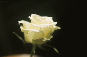 スポットライトに照らされた1輪のバラの花(白)の写真素材 [FYI03162323]