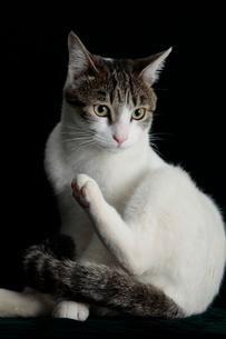 正面向き猫の写真素材 [FYI03162365]