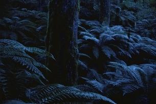 森林のシダやコケ 北島 ニュージーランドの写真素材 [FYI03162577]