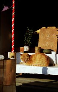 神社の猫の写真素材 [FYI03162749]