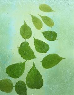シラカシ・ブナ科の複数の葉の写真素材 [FYI03162770]