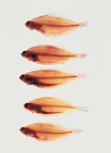 並んだ5匹のヤナギカレイの写真素材 [FYI03162894]