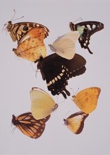 蝶の写真素材 [FYI03162981]