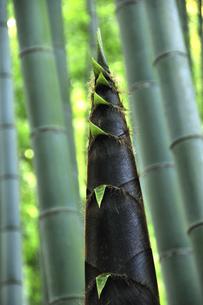 竹の子の写真素材 [FYI03163700]