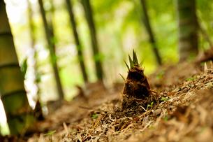 竹の子の写真素材 [FYI03163702]