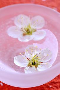 ボウルに浮かぶ梅の花の写真素材 [FYI03163703]