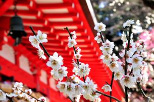梅の花と神社の写真素材 [FYI03163706]