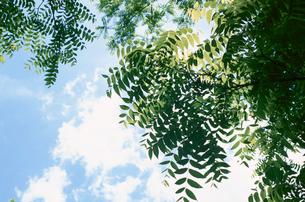 ブラックウォールナッツの葉の写真素材 [FYI03163892]