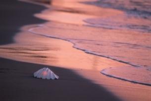 オレンジ色に染まる波打ち際の貝殻 湘南 神奈川県の写真素材 [FYI03163968]