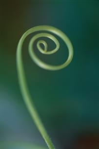 Cucumber Vineの写真素材 [FYI03163996]