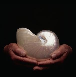 オウム貝を持つ手の写真素材 [FYI03164034]
