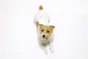 伏せのポーズをする犬の写真素材 [FYI03165427]