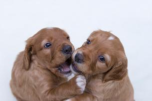 じゃれあう栗色の2匹の子犬の写真素材 [FYI03166458]