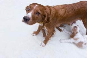 お乳を飲む子犬とカメラを見上げる母犬の写真素材 [FYI03166459]