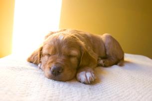 陽の入る部屋ぐっすり眠る生後3週間の子犬の写真素材 [FYI03166460]