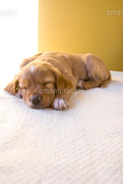 陽の入る部屋ぐっすり眠る生後3週間の子犬の写真素材 [FYI03166462]