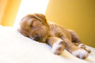 陽の入る部屋ぐっすり眠る生後3週間の子犬の写真素材 [FYI03166465]