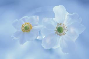二輪の秋明菊の花(白)の写真素材 [FYI03166618]