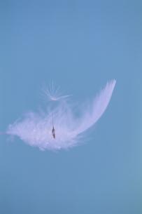 羽毛とタンポポの綿毛の写真素材 [FYI03166633]
