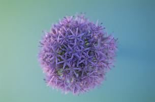 ギガンチウムの花の写真素材 [FYI03166653]