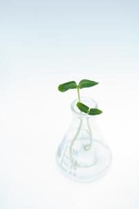 キューリの新芽とフラスコの写真素材 [FYI03166702]