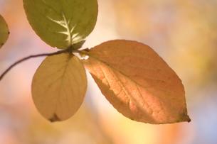 黄色く色づいた葉の写真素材 [FYI03166778]