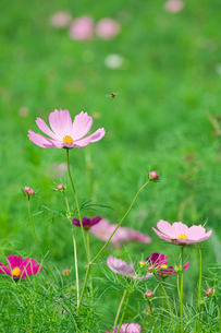 コスモスに飛ぶ蜂の写真素材 [FYI03166850]