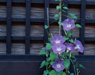 窓の格子に巻きついたアサガオの花(紫) 岐阜県の写真素材 [FYI03166881]